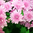 Chrysanthemums — Foto Stock
