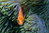 Fish amphiprion — Stock Photo