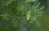 Pine cone branch — Stock Photo