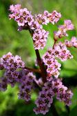 Flowers. Badan — Stock Photo