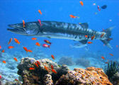 Barracuda — Stock Photo