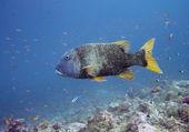 Grouper fish — Stock Photo