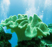 Soft coral (sarcophyton glaucium) — Stock Photo