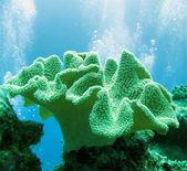 Soft coral (sarcophyton glaucium) — Stockfoto