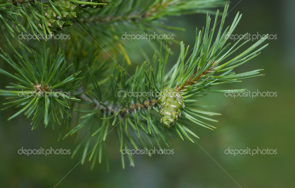 Natural abstraction - pine cone on a branch on a green background.  Stockfoto #2901074