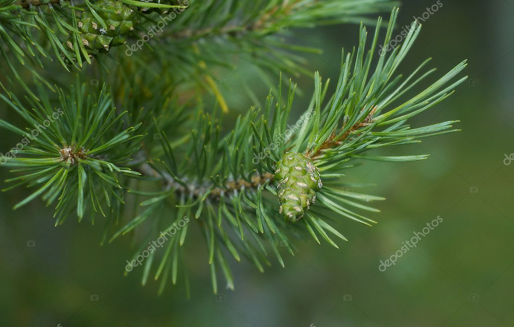 Natural abstraction - pine cone on a branch on a green background. — Foto de Stock   #2901074