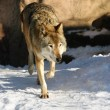 Stock Photo: Grey wolf (canis lupus)
