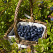 Blueberry basket — Stock Photo