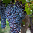 Royalty-Free Stock Photo: Bunch of Grapes Hanging on a Vine