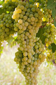 Bunches of Grapes Hanging on a Vine — Stock Photo