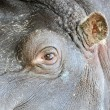Stock Photo: Hippopotamus eye and ear