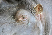Hippopotamus eye and ear — Stock Photo