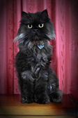 Black Persian cat posing on commode! — Stock Photo