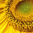 Stock Photo: Sunflower 4