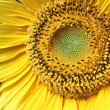 Stock Photo: Sunflower 3