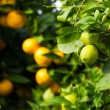 Stock Photo: Citrus fruit