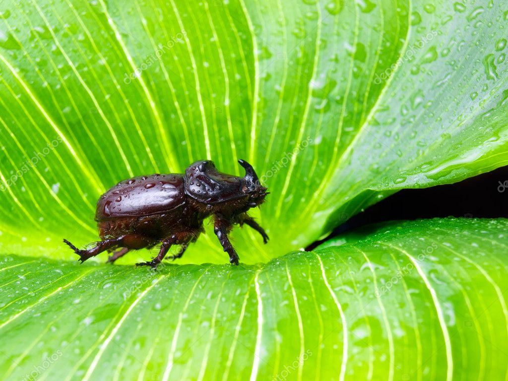 Green rhinoceros beetles
