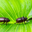 Scarab couple — Stock Photo