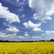 Rape field — Stock Photo #2833875
