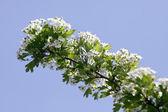 Albero ciliegio — Foto Stock