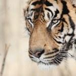 tigré — Photo