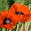 Red Poppies — Stock Photo #3223649