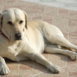 Labrador Dog — Stock Photo