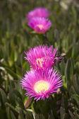 Lampranthus spectabilis — Foto de Stock