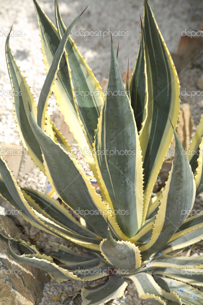 Cactus Agave americana striata — Stock Photo #3103227