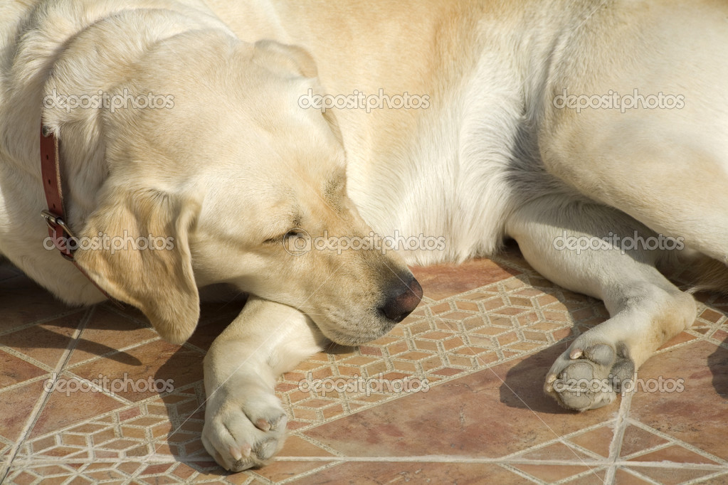 A Labrador dog laying on the floor — Stock Photo #3129691