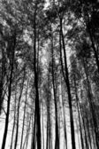 Tall Trees Background — Stock Photo