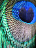 Peacock Feather Colors — Stock Photo