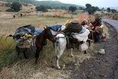 Nomadic Horses — Stock Photo