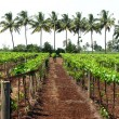 Royalty-Free Stock Photo: Tropical Vineyard