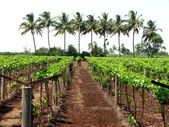 Tropical Vineyard — Stock Photo