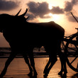 Sunset Bullocks — Stock Photo