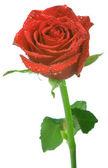 Rosa vermelha isolada sobre fundo branco — Fotografia Stock
