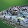 Stock Photo: Panther chameleon