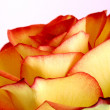 Rose - Foto Stock