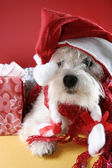 白の子犬 — ストック写真