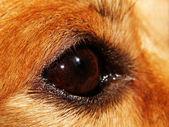 Dog EYE - macro — Stock Photo
