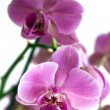 Stock Photo: Purple orchid phalaenopsis