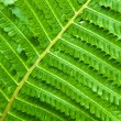Young fern leaf — Stock Photo