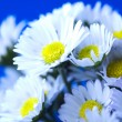Stock Photo: Daisy flower