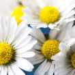 Daisy flower — Stock Photo
