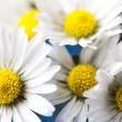 Daisy flower — Stock Photo