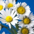 Daisy flower — Stock Photo #3796425