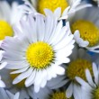 Daisy flower — Stock Photo #3796555