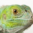 Iguana isolated on white background — Stock Photo