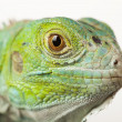 Iguana isolated on white background — Stock Photo #3809648